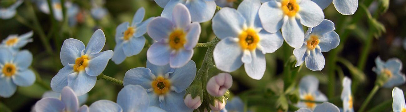 Myosotis palustris 'Big Blue'